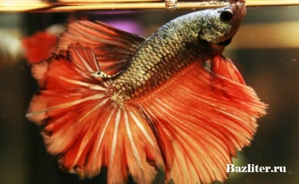 Аквариумная рыбка петушок: описание породы, особенности ухода и содержания