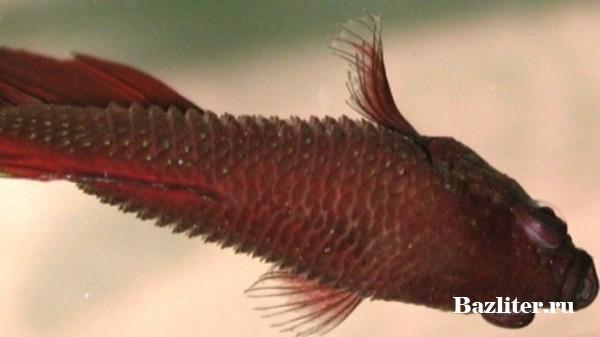 Болезни аквариумных рыбок петушков: особенности профилактики и методики лечения