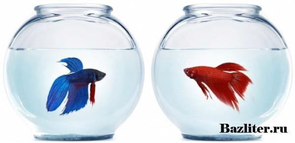 Рыбка петушок: уход и содержание