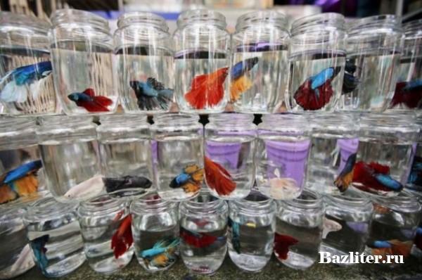 Покупка рыбки петушка