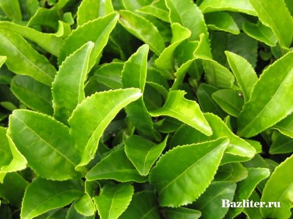 Черный чай. Особенности, вкусовые качества, польза и вред