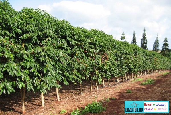 Какой сорт кофе лучше: Арабика или Робуста. Отличительные особенности, полезные свойства и вкусовые качества