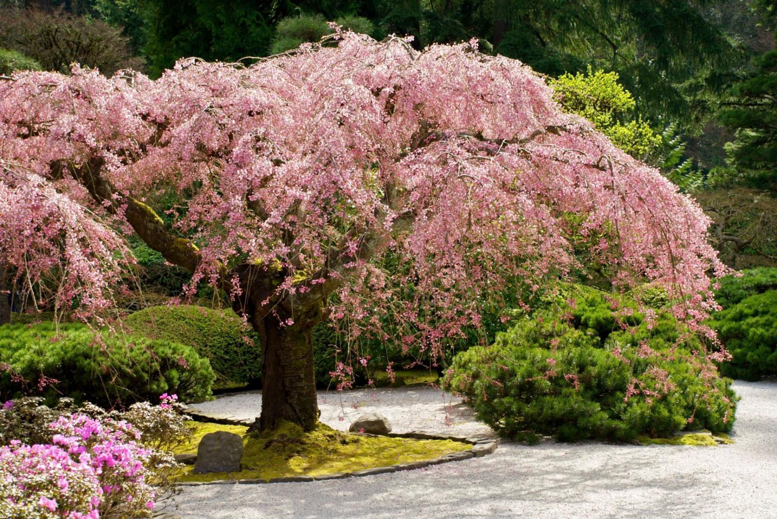 дерево-солитер в ландшафтном дизайне
